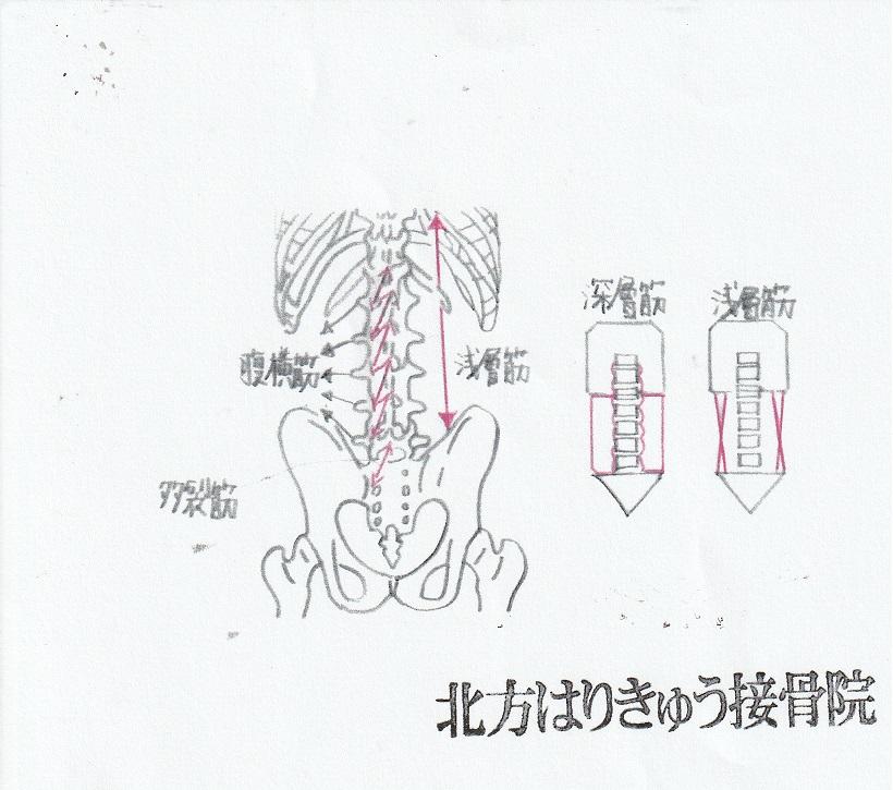 多裂筋・腹横筋